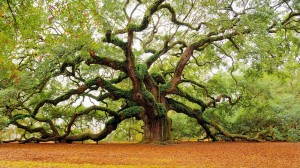 Angel Oak tree Charleston SC, dunes properties